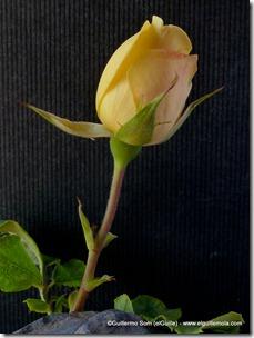 la rosa amarilla del 10 de octubre de 2010