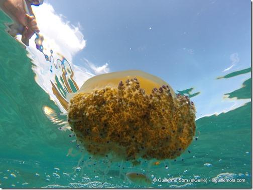 un pececillo al resguardo de la medusa...